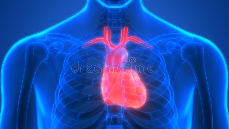 Human Body Organs Circulatory System with Heart Anatomy. 3D Illustration of Human Body Organs Circulatory System with Heart Anatomy royalty free illustration
