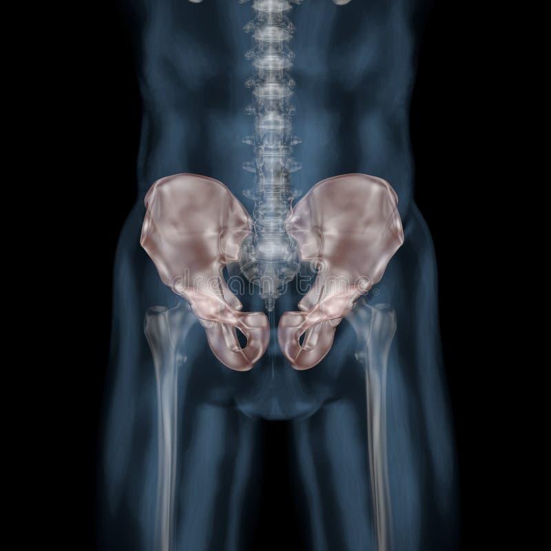 3d illustration of human body skeletal pelivs stock illustration