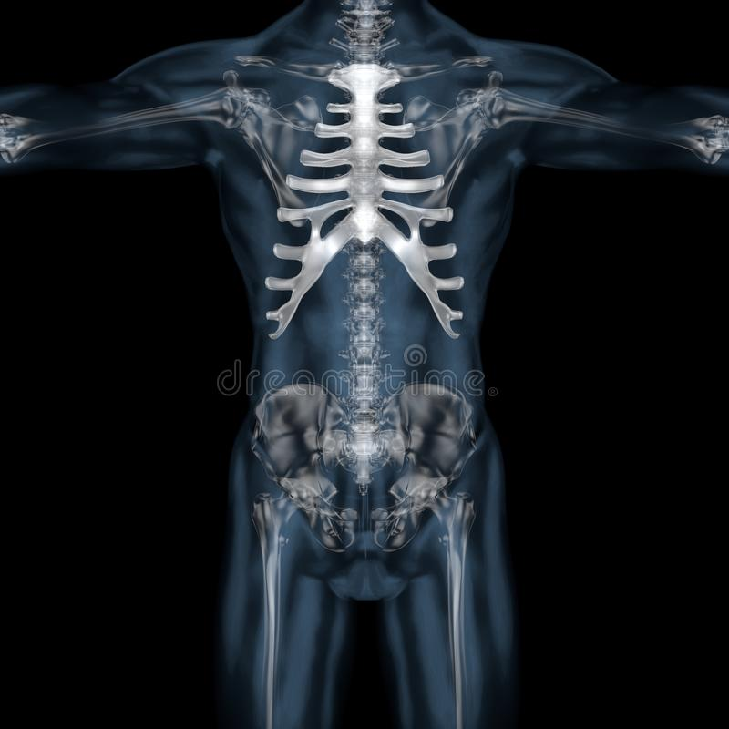 3D illustration of human body skeletal sternum vector illustration