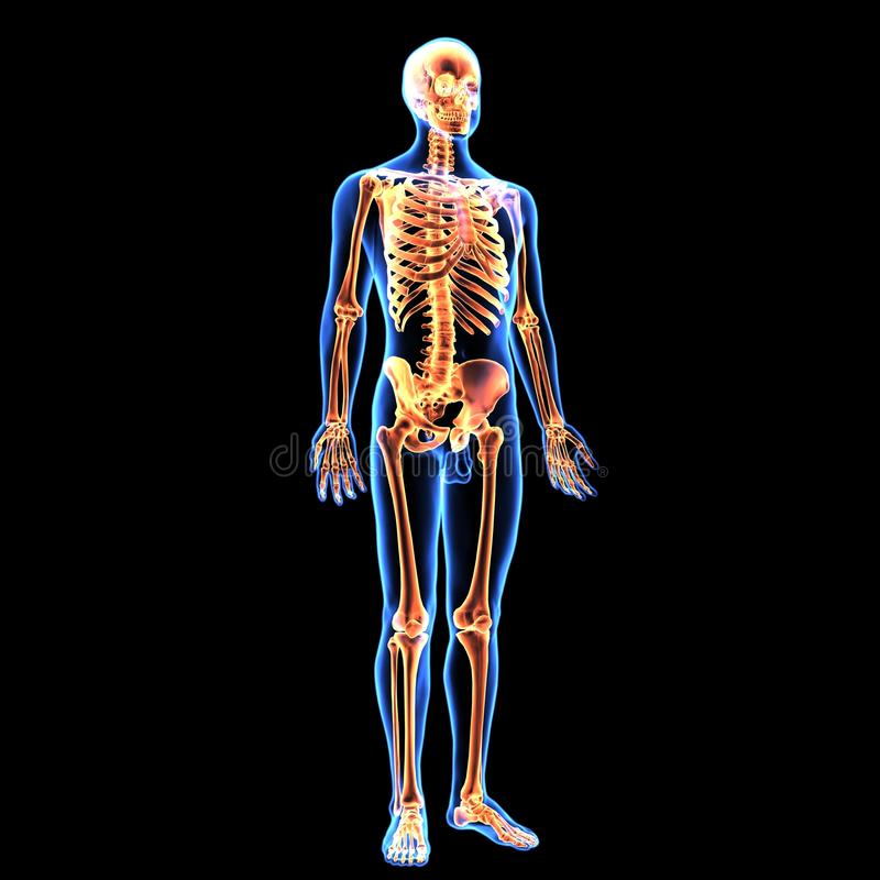 3d illustration of human body skeleton anatomy. The human skeleton is the internal framework of the body. It is composed of around 270 bones at birth – stock illustration
