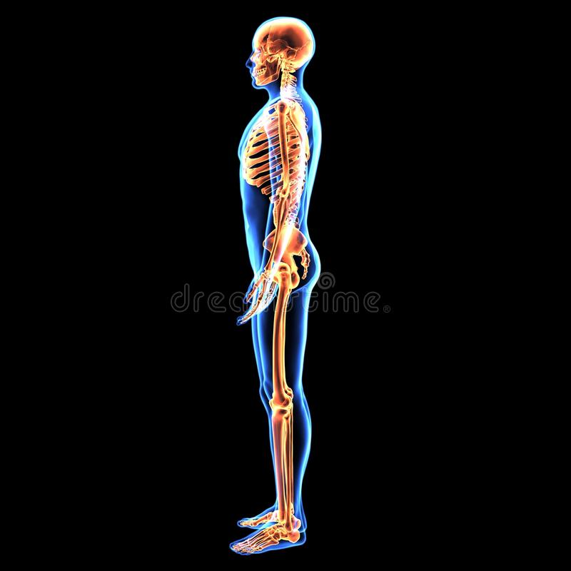 3d Illustration Of Human Body Skeleton Anatomy Stock Illustration