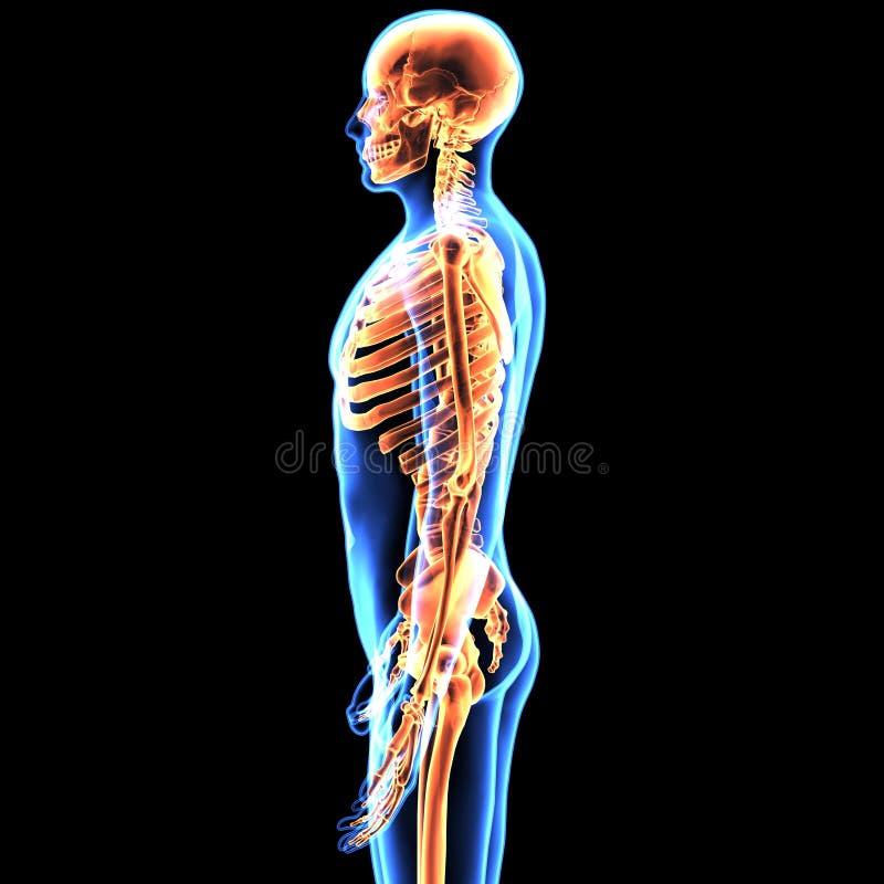 3d Skeleton Anatomy Gallery - human body anatomy