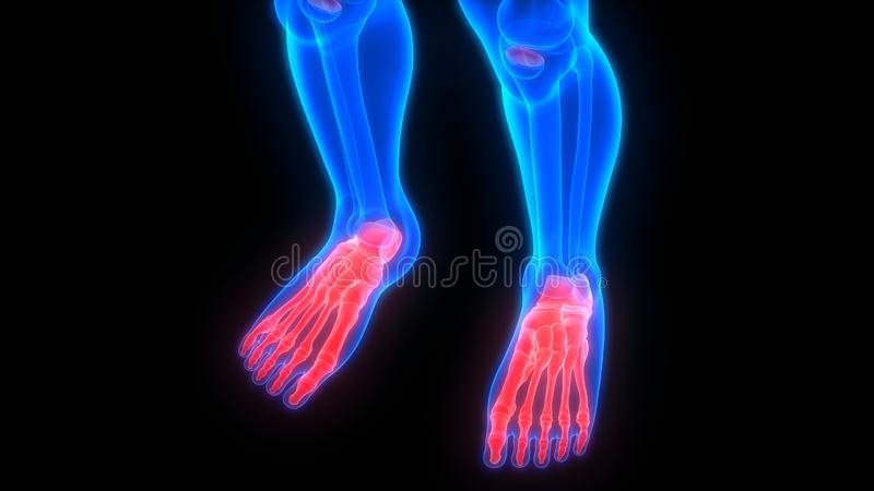 Human Body Skeleton System Foot Bone Joints Anatomy. 3D Illustration of Human Body Skeleton System Foot Bone Joints Anatomy vector illustration