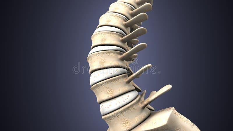 3d Illustration Of Human Body Spinal Bone Anatomy Stock Illustration
