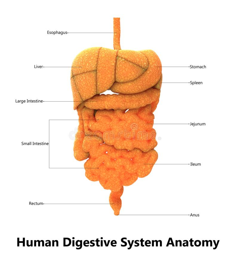 Human Digestive System Anatomy With Detailed Labels Stock ...