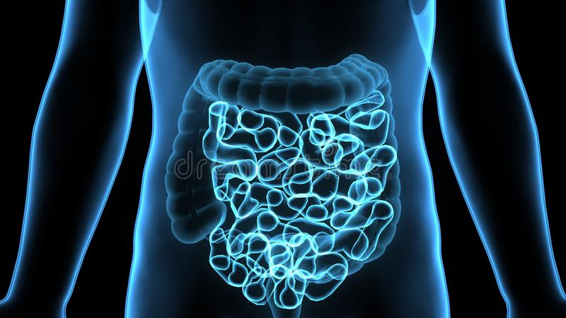 3D Illustration of Human Digestive System Anatomy & x28;Stomach with Small Intestine& x29; vector illustration