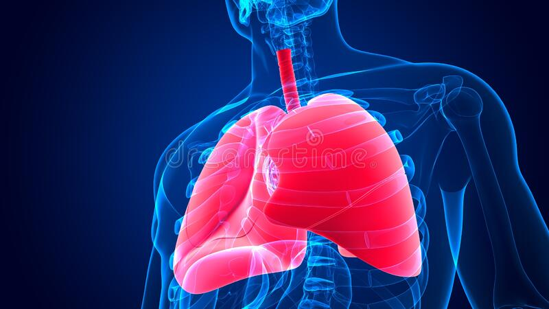 3d Illustration Human Respiratory System Anatomy Lungs Stock
