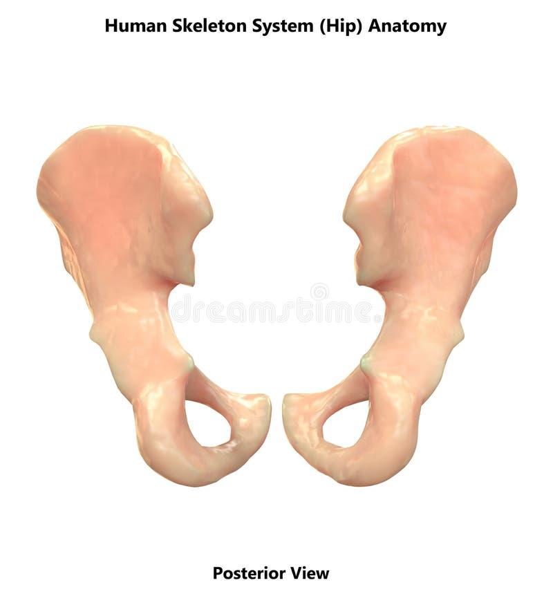 Human Skeleton System Bones Hip Posterior View Anatomy stock illustration