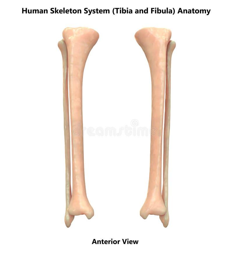 Human Skeleton System Tibia and Fibula Bones Anterior View Anatomy. 3D Illustration Human Skeleton System Tibia and Fibula Bones Anterior View Anatomy stock illustration