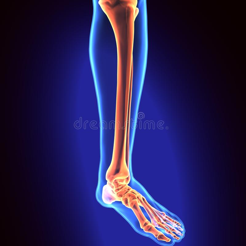 3D Illustration Of Human Skeleton Tibia And Fibula Bones Stock ...