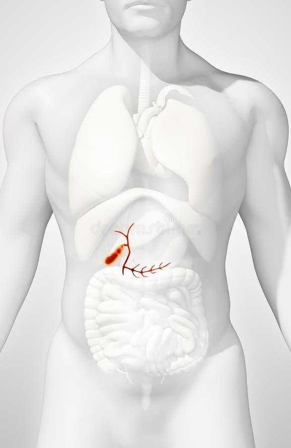3D illustration of male Gallbladder. stock illustration