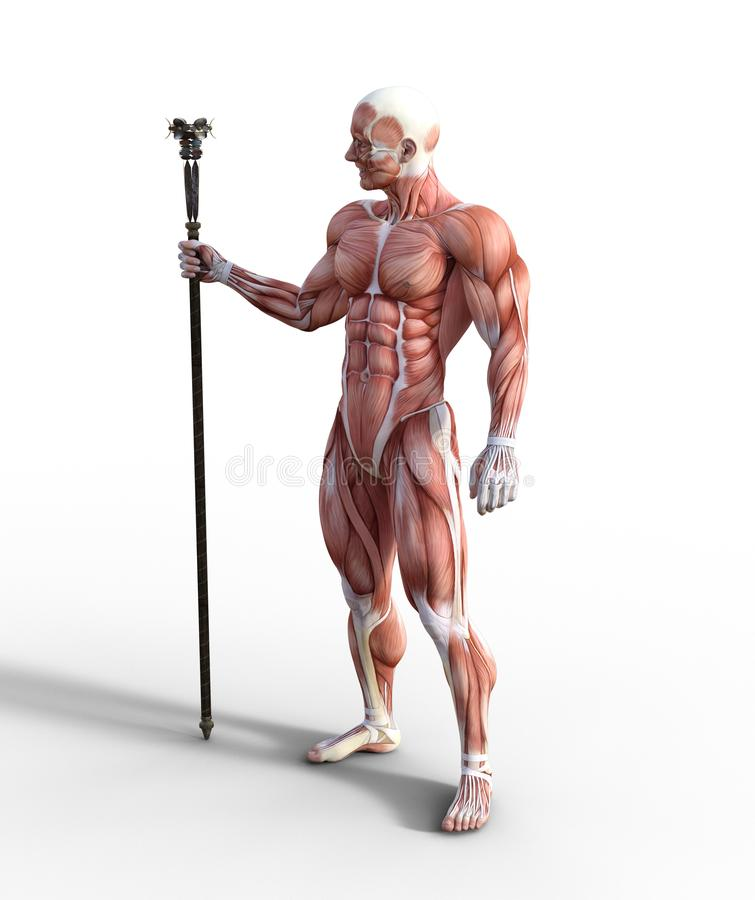 3D Illustration of Male Muscular System holding a staff. 3D illustration of a male muscular system holding a staff in a front view position vector illustration