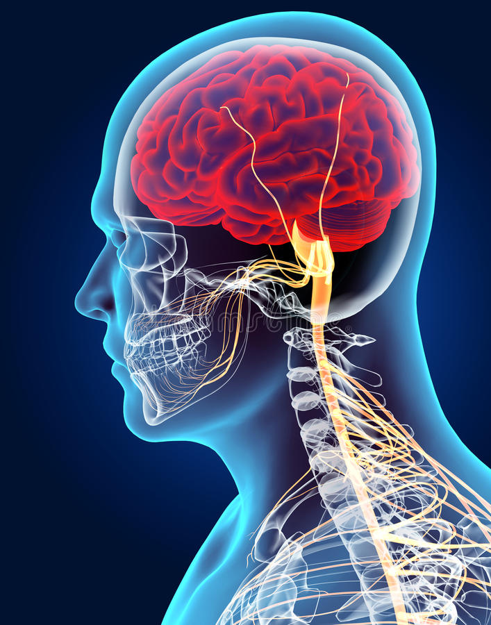 3D illustration male nervous system. royalty free illustration
