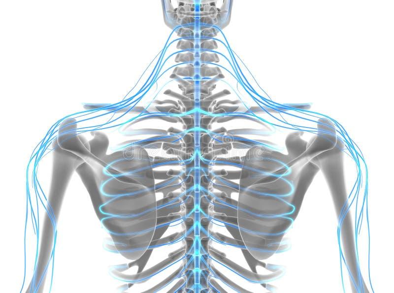 3D illustration male nervous system. stock illustration