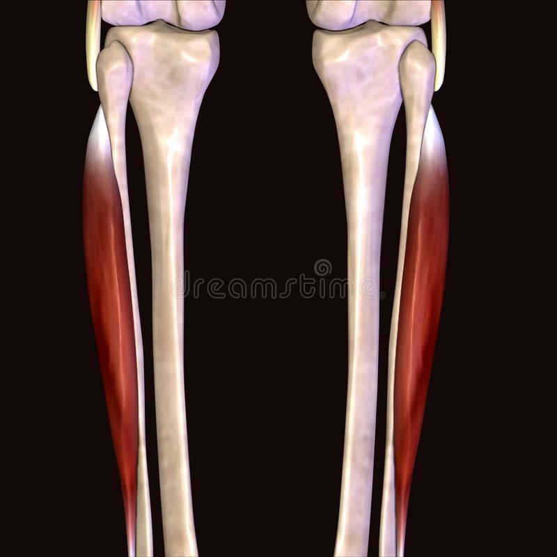 3D Illustration Of Muscles And Anatomy Stock Illustration ...
