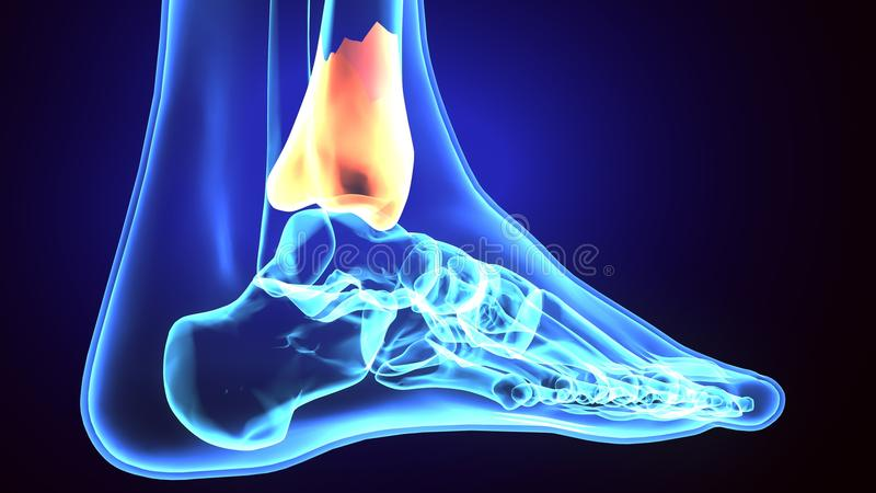 3d Illustration Of Skeleton Fibula Bone Anatomy Stock Illustration ...