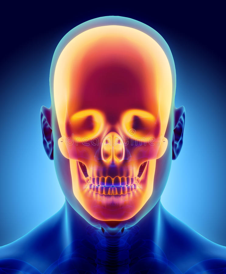 3D Illustration Of Skull Anatomy - Part Of Human Skeleton. Stock ...