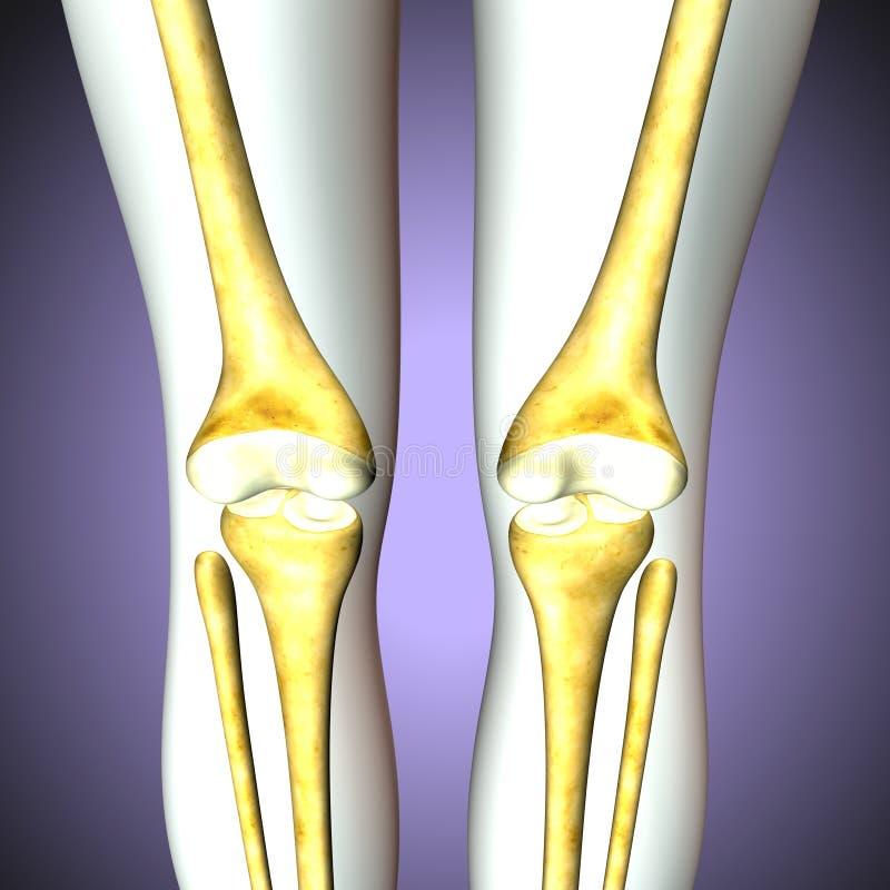 3d Illustration Of Tibia Part Of Human Skeleton Stock