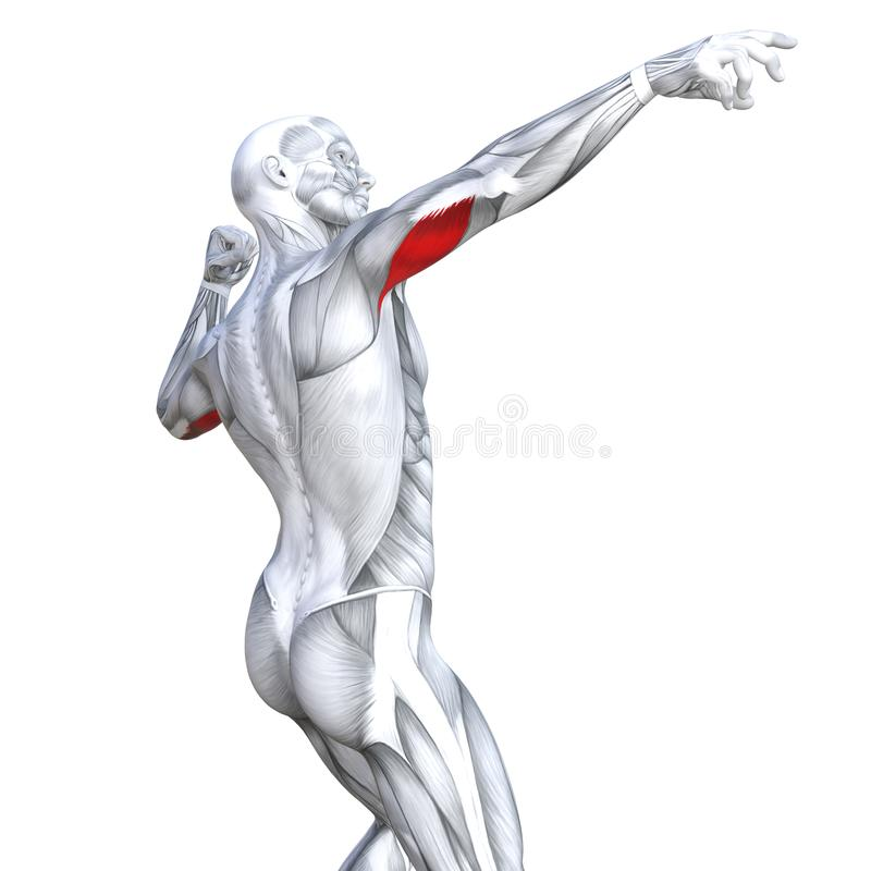 3D illustration triceps fit strong human anatomy vector illustration