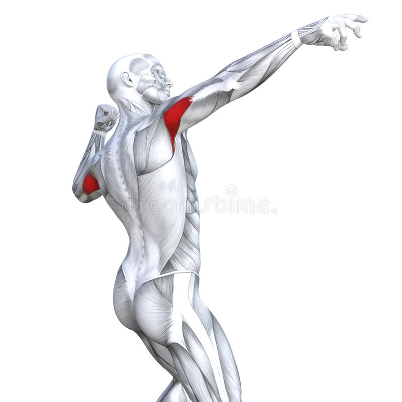 3d Illustration Triceps Fit Strong Human Anatomy Stock Illustration