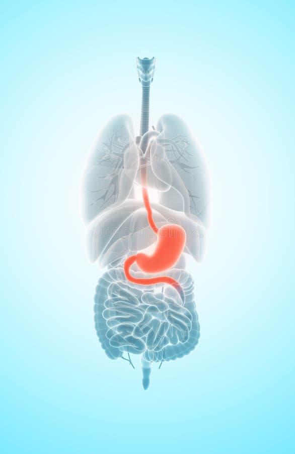 3D ilustracja żołądek ilustracja wektor