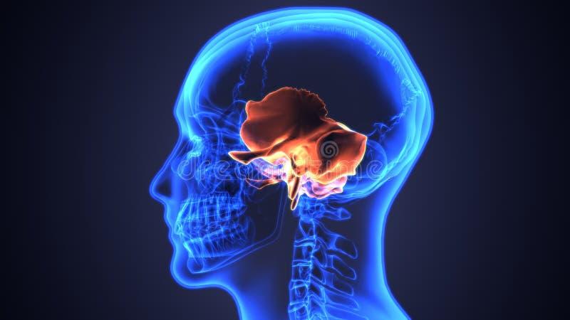 3D ilustracja żuchwa - część Ludzki kościec royalty ilustracja