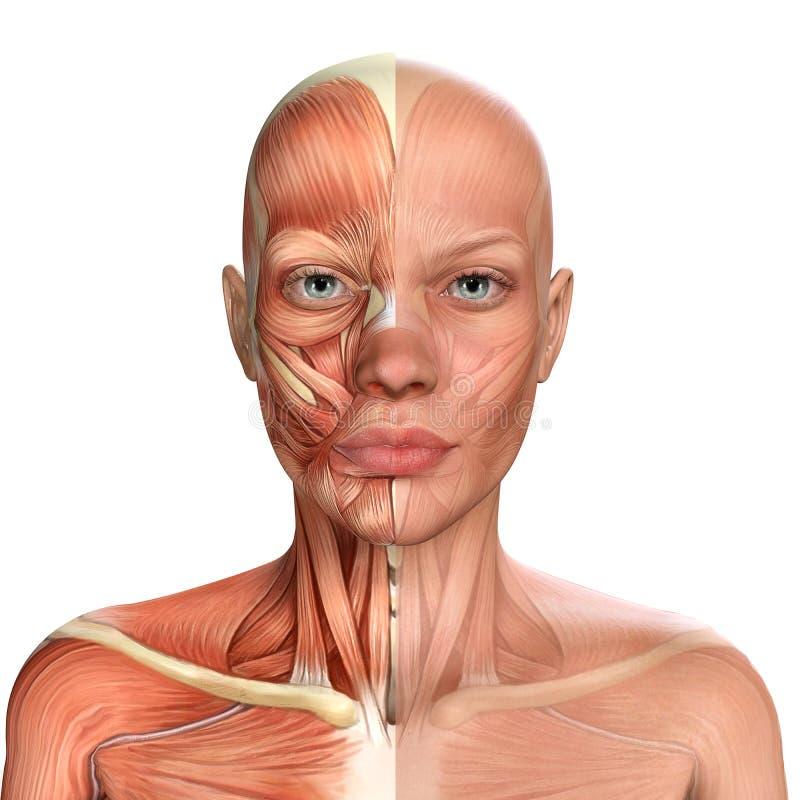 3d ilustracja anatomii mięśni twarzy samic ilustracja wektor
