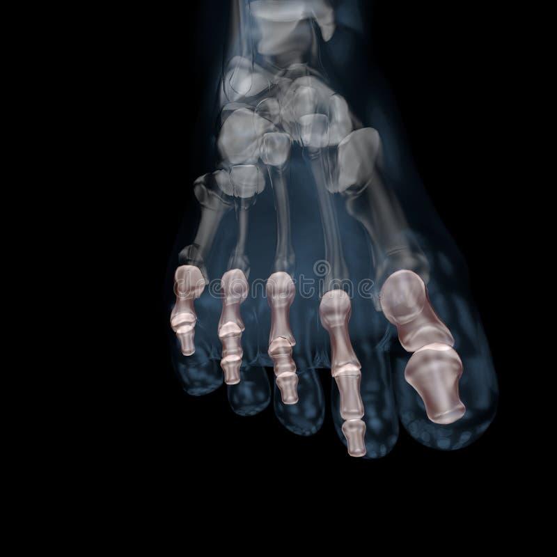 3d ilustracja ciał ludzkich kośćcowi phalanges nożni ilustracji