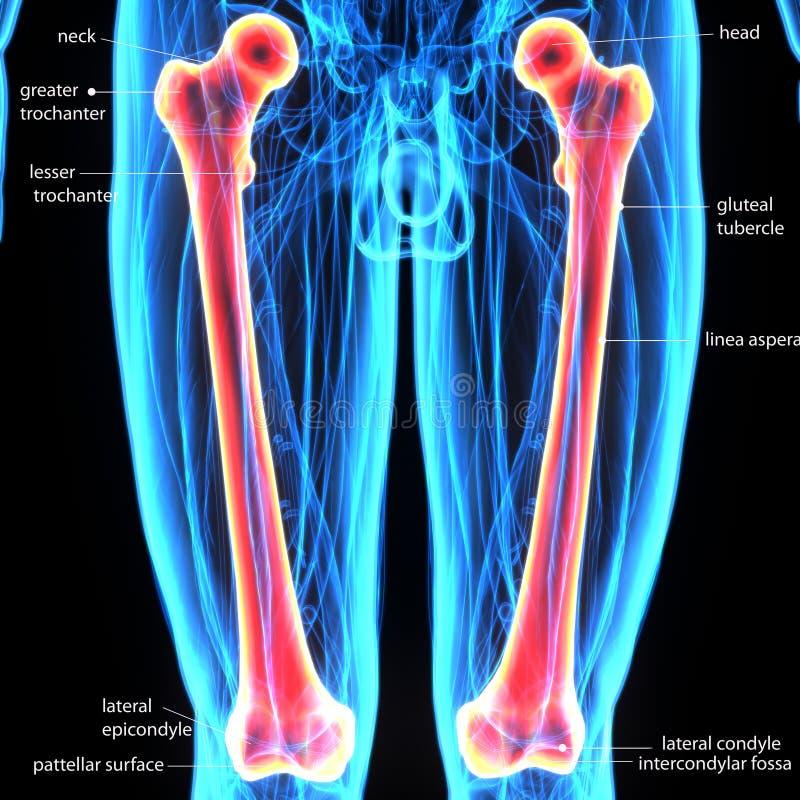 3d ilustracja ciała ludzkiego femur kość royalty ilustracja