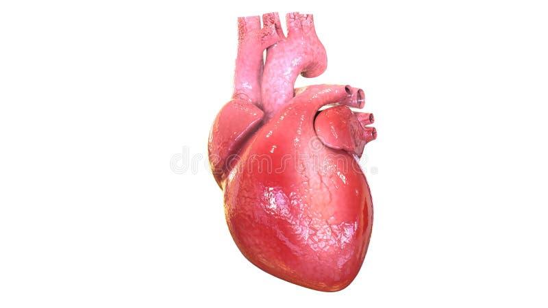 3d ilustracja ciała ludzkiego organheart anatomia ilustracji
