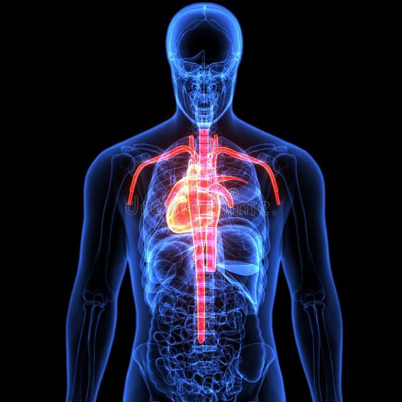 3d ilustracja ciała ludzkiego serca anatomia royalty ilustracja