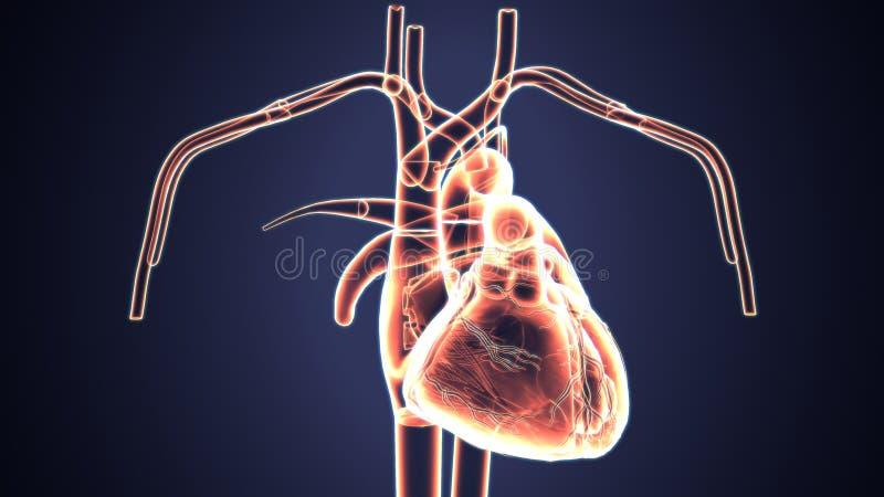 3d ilustracja ciała ludzkiego serca anatomia ilustracji