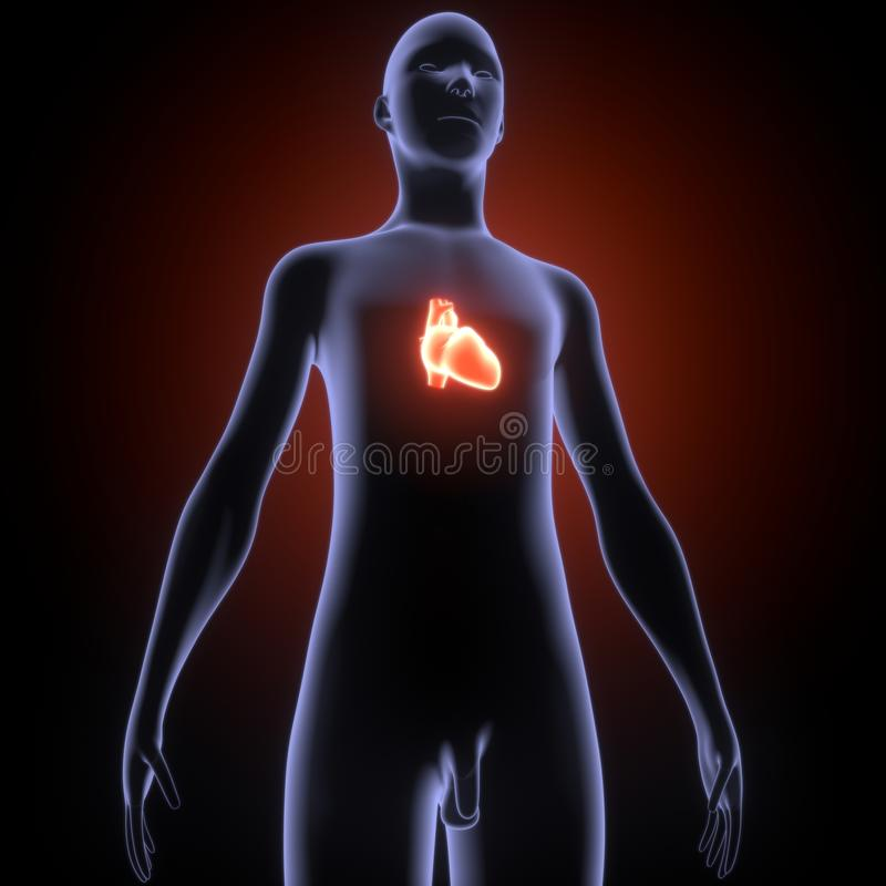 3d ilustracja ciała ludzkiego serca anatomia ilustracja wektor