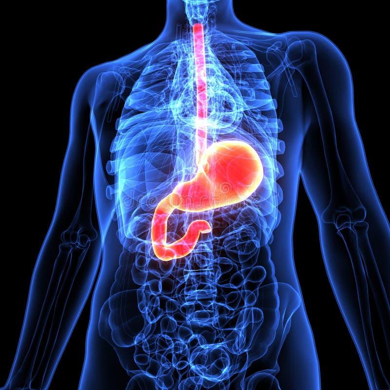 3d ilustracja ciało ludzkie żołądka anatomia royalty ilustracja
