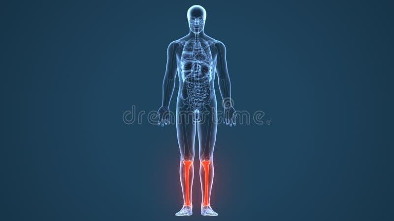 3D ilustracja Ludzkie Zredukowane piszczeli i Fibula kości ilustracji