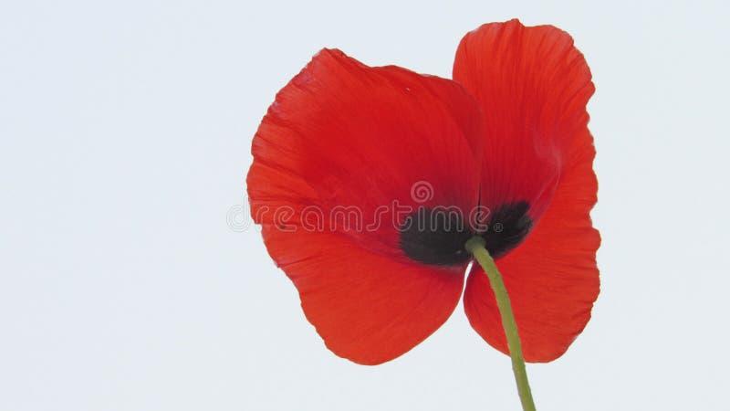 d'isolement sur le fond blanc coupez le jardin de groupe de fleur de pavot images stock