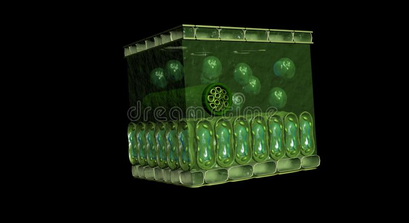 3D leaf cross section stock images