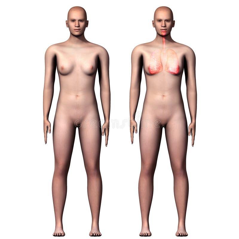 3d longen van het illustratie menselijke lichaam royalty-vrije illustratie