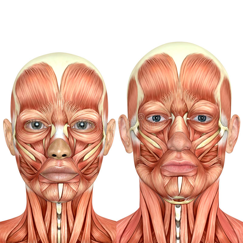 3d male and female face anatomy together stock illustration