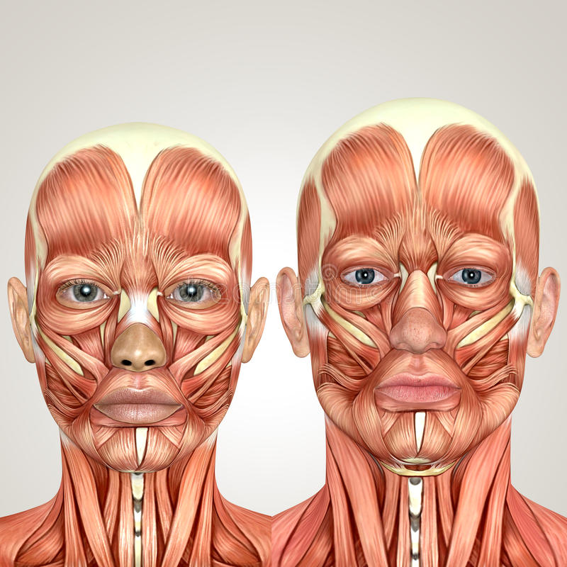 3d male and female face anayomy together royalty free illustration