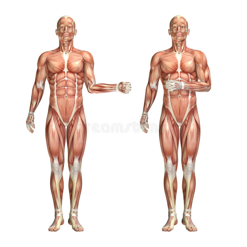 3d Male Medical Figure Showing Shoulder External And Internal Ro