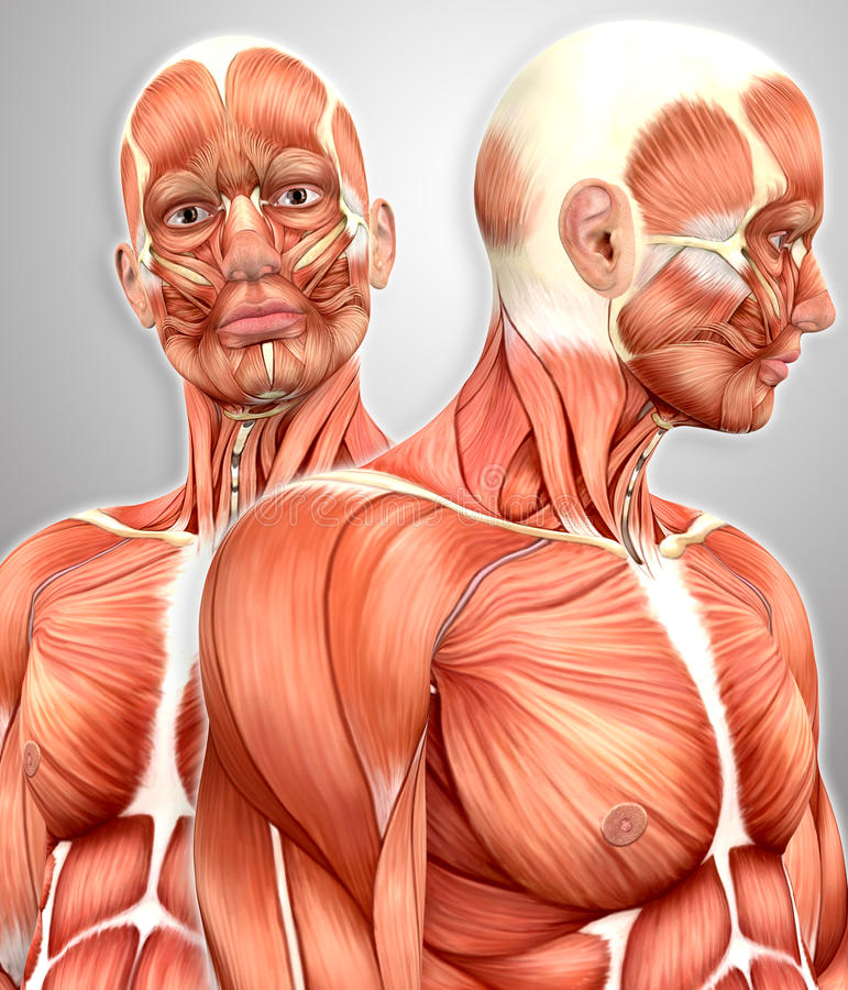 3d male muscular anatomy with side view royalty free illustration