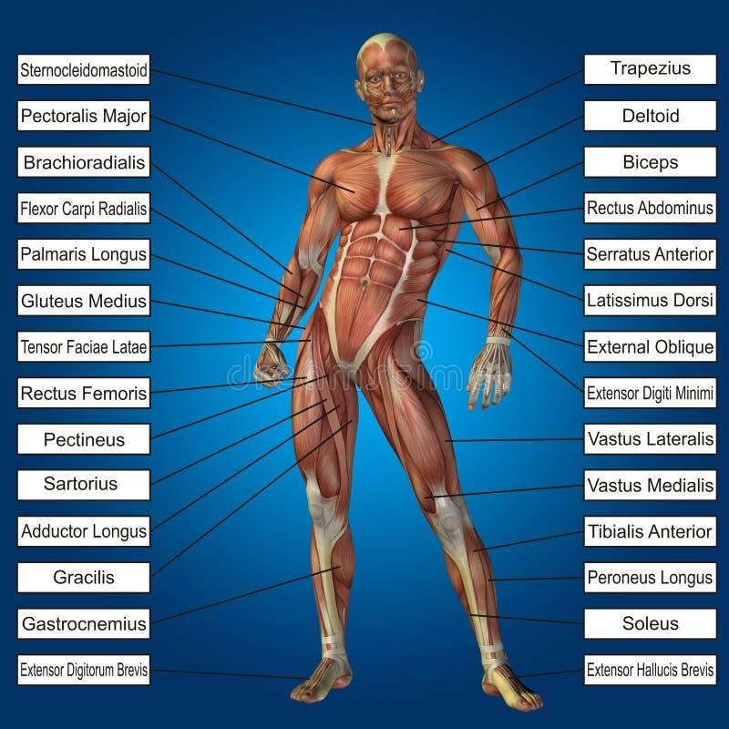 3D menselijke mannelijke anatomie met spieren en tekst royalty-vrije illustratie