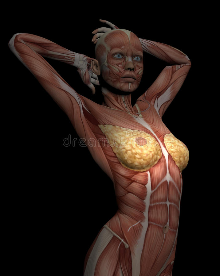 3D model of muscles of female torso for study, with breast in focus royalty free illustration