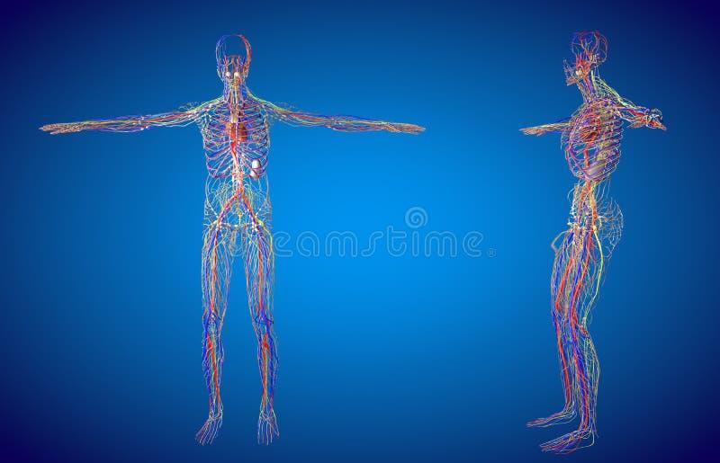 D odpłaca się ilustrację męski limfatyczny system ilustracja wektor