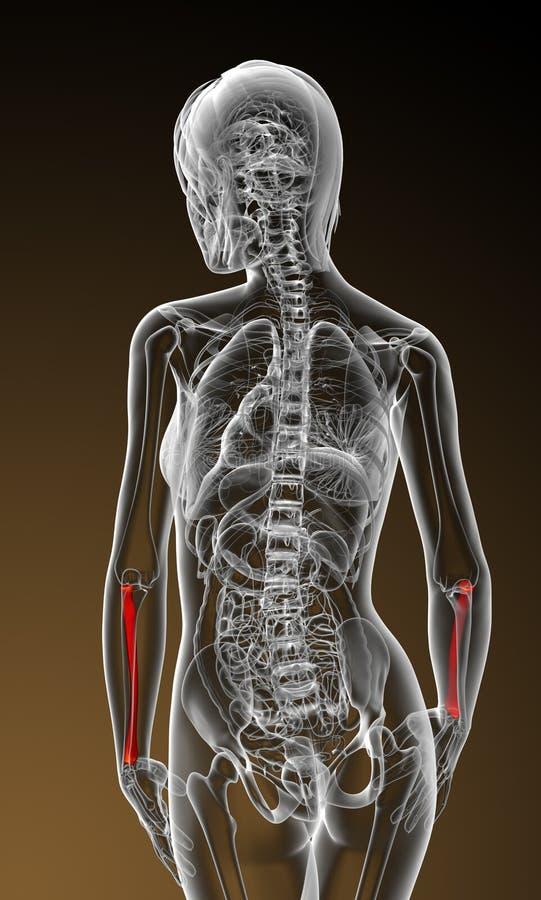 3d odpłacają się medyczną ilustrację promieniomierz kość ilustracja wektor
