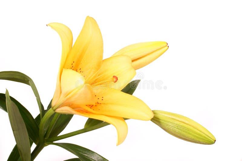 D'orange fleur lilly sur b blanc photographie stock libre de droits