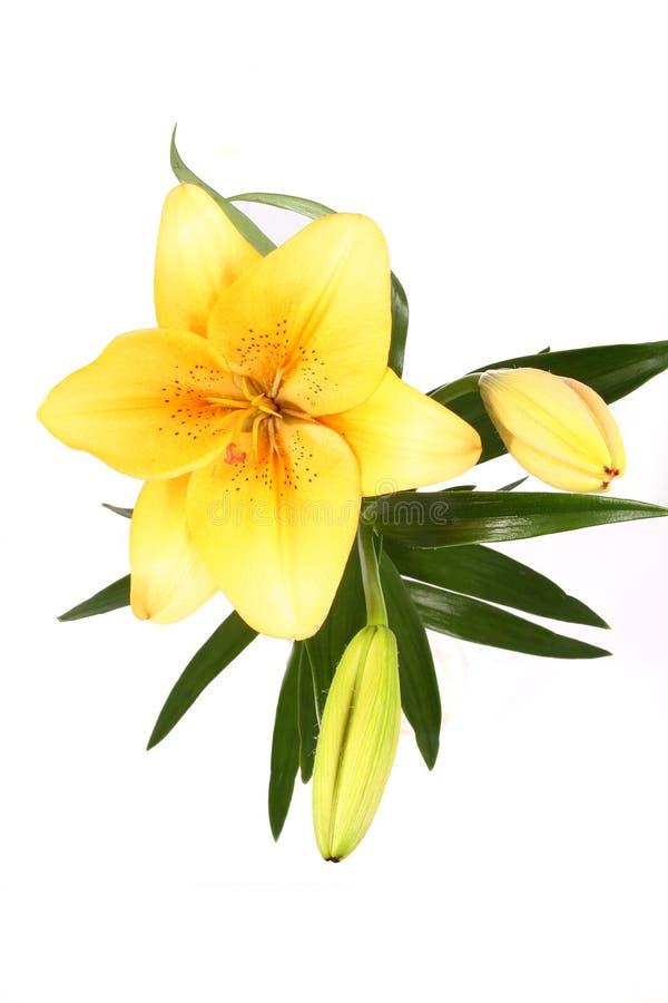 D'orange fleur lilly sur b blanc image libre de droits