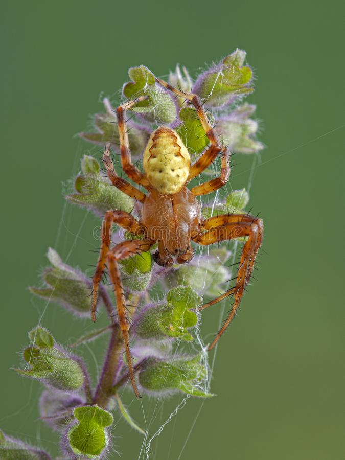 D82 P1010039 male shamrock orb weaver spider. Mature male shamrock orb weaver spider, Araneus trifolium, resting on an Iranian sage flower. This is one of the royalty free stock photos