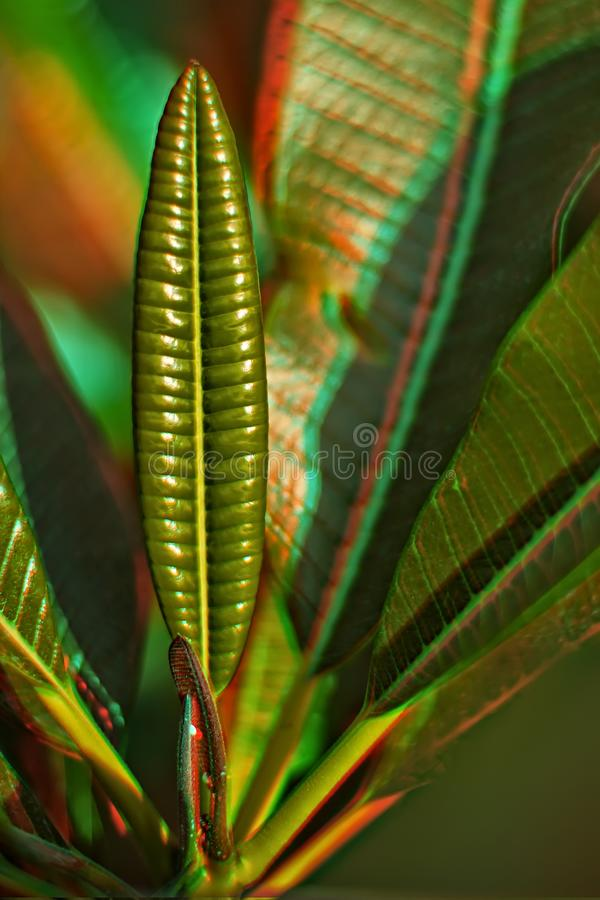 3D Plumeria Leaf. 3D anaglyph for the plumeria leaf with shallow depth of field, Suitable to be viewed on monitor or printed with special anaglyph glasses stock image